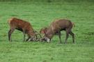 Kämpfende Hirsche (Cervus elaphus) im Wildwald Voßwinkel
