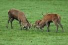 Kämpfende Hirsche (Cervus elaphus) im Wildwald Vosswinkel