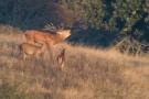Röhrender Hirsch (Cervus elaphus) auf der Dreiborner Höhe