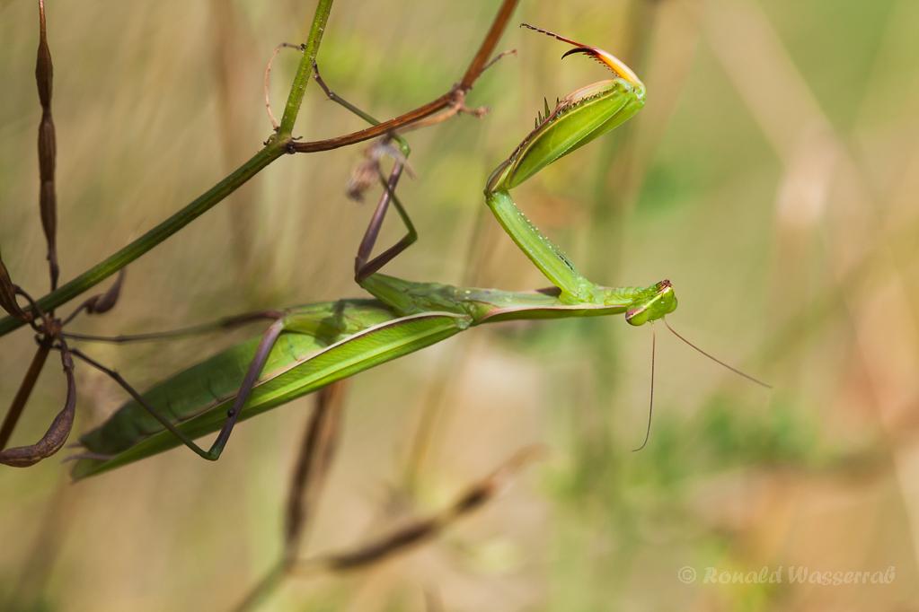 Gottesanbeterin (Weibchen)