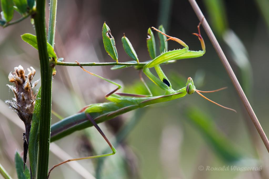 Gottesanbeterin (Männchen)