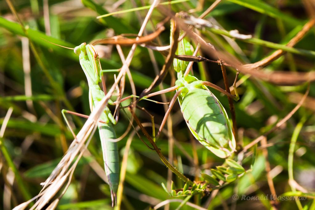 Gottesanbeterinnen (Weibchen und Männchen)