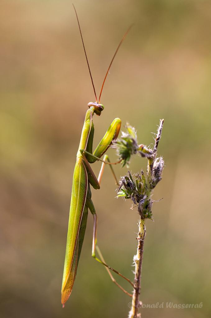 Europäisches Gottesanbeterinnen-Männchen (Mantis religiosa)