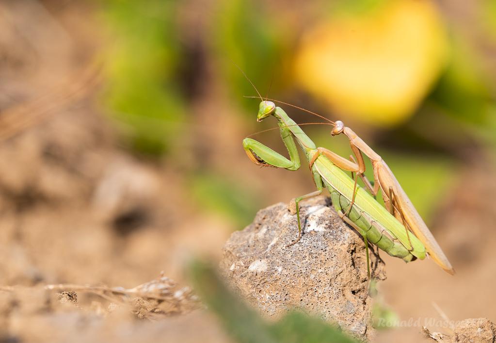 Europäisches Gottesanbeterinnen-Pärchen (Mantis religiosa)