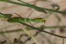 Europäische Gottesanbeterin (Mantis religiosa) am Badberg im Kaiserstuhl