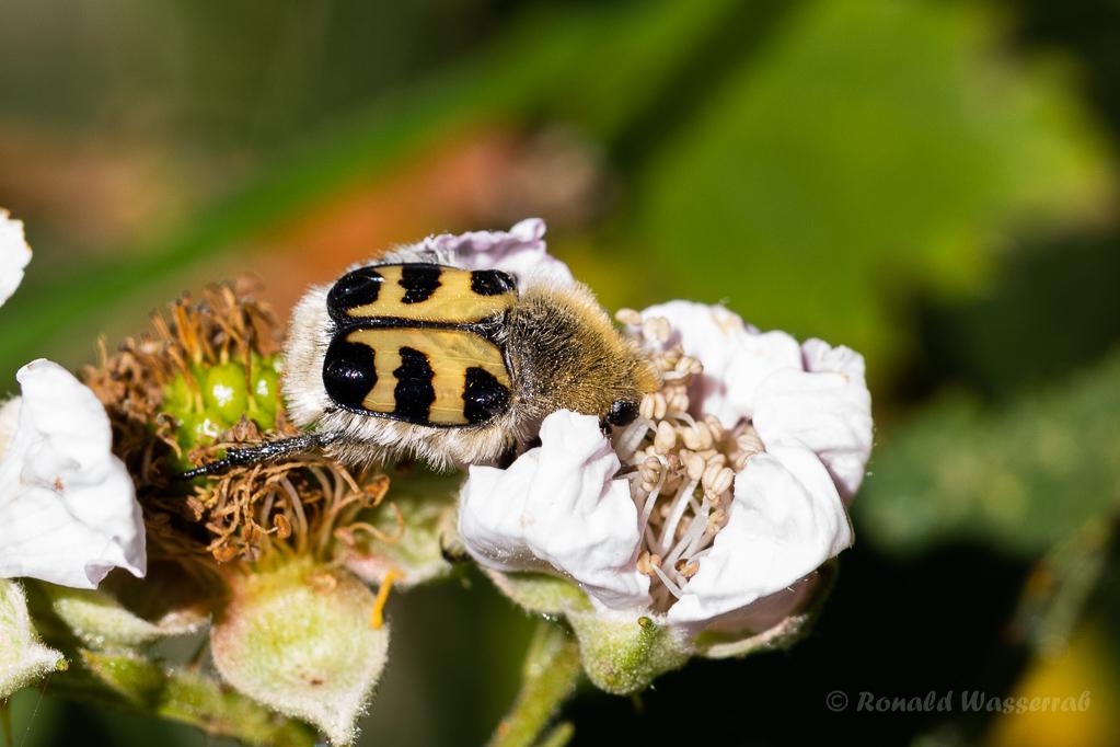 Gebänderter Pinselkäfer (Trichius fasciatus)