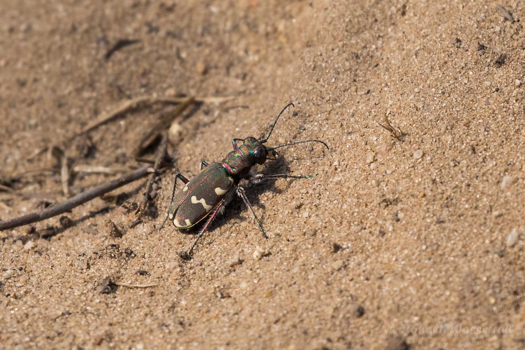 Dünen-Sandlaufkäfer (Cicindela hybrida) im Nationalpark De Meinweg