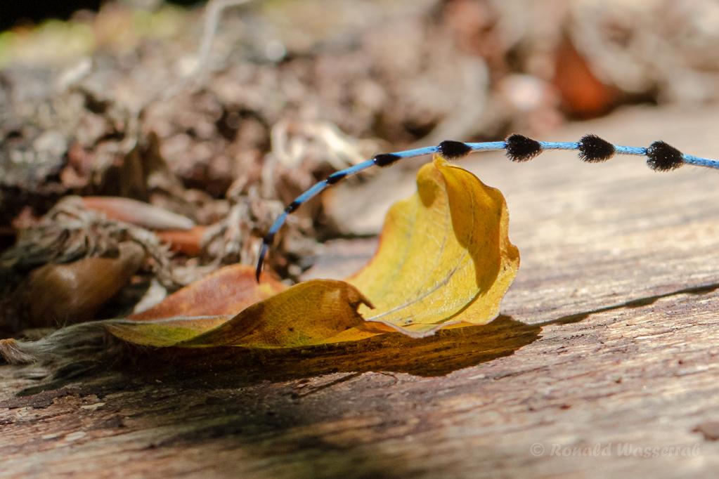 Fühler des Alpenbocks  (Rosalia alpina)