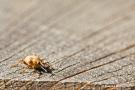 Rüsselkäfer auf Weidezaun
