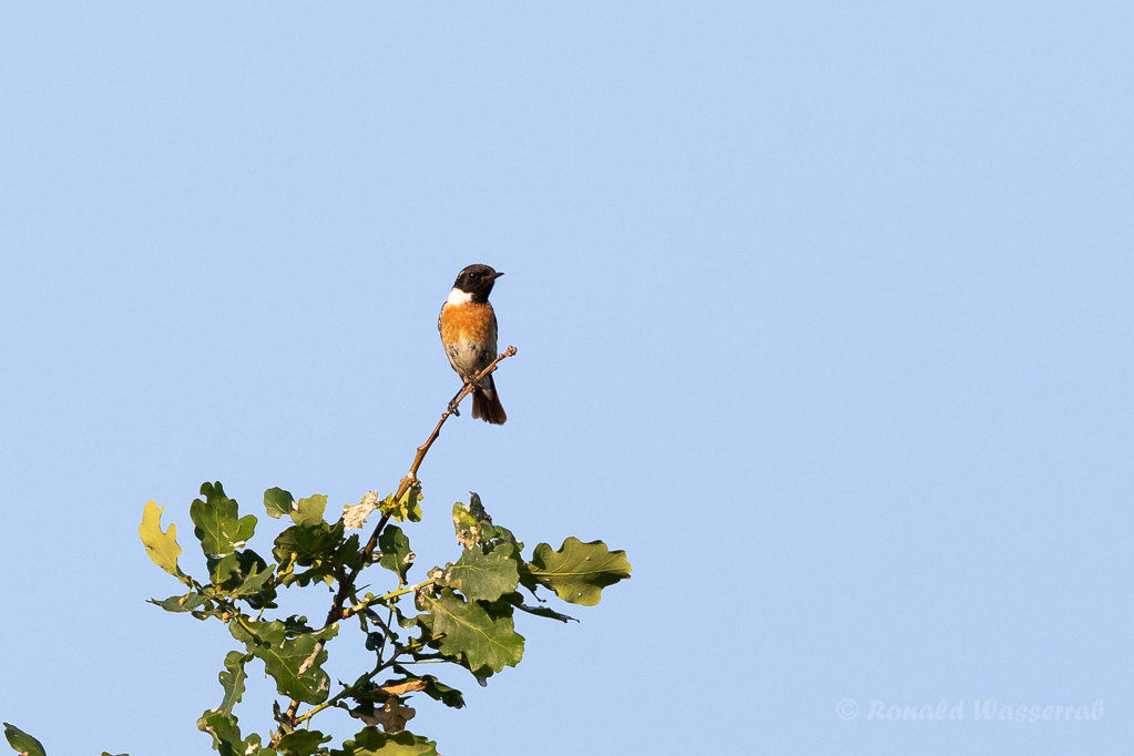 Schwarzkehlchen-Männchen (Saxicola rubicola)