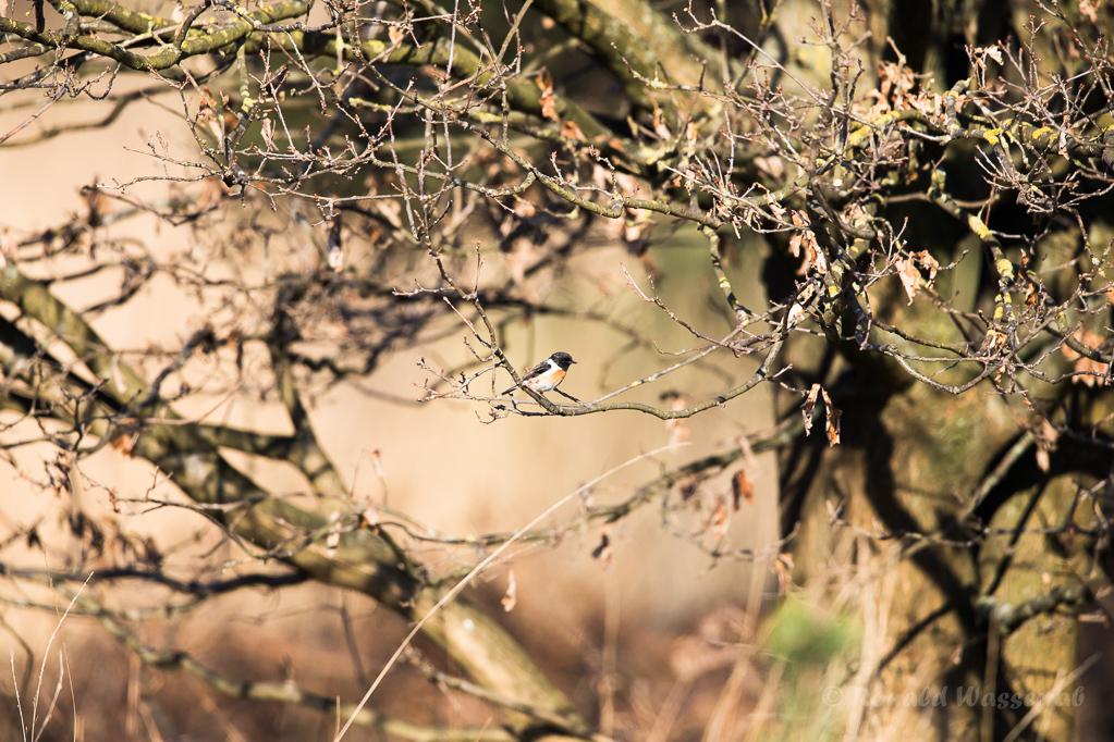 Schwarzkehlchen-Männchen (Saxicola rubicola) in De Groote Peel