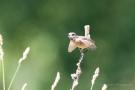 Schwarzkehlchen-Weibchen (Saxicola rubicola)