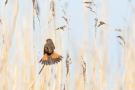 Blaukehlchen (Luscinia svecica cyanecula)
