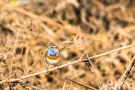 Blaukehlchen (Luscinia svecica cyanecula) in De Groote Peel