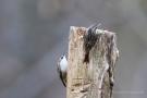 Gartenbaumläufer (Certhia brachydactyla)