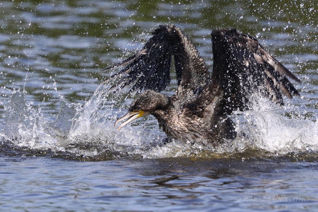 Badender Kormoran (Phalacrocorax carbo)