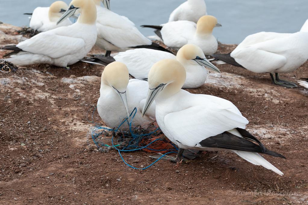 Basstölpel (Morus bassanus) modernes Nylon-Nest