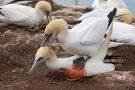 Basstölpel (Morus bassanus) - Paarung