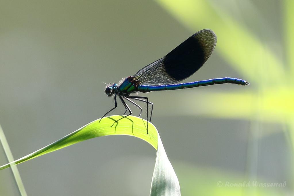 Männchen der Gebänderten Prachtlibelle (Calopteryx splendens)
