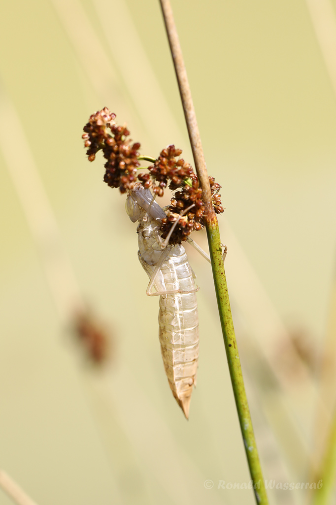 Libellen-Haut vom Plattbauch (Libellula depressa)