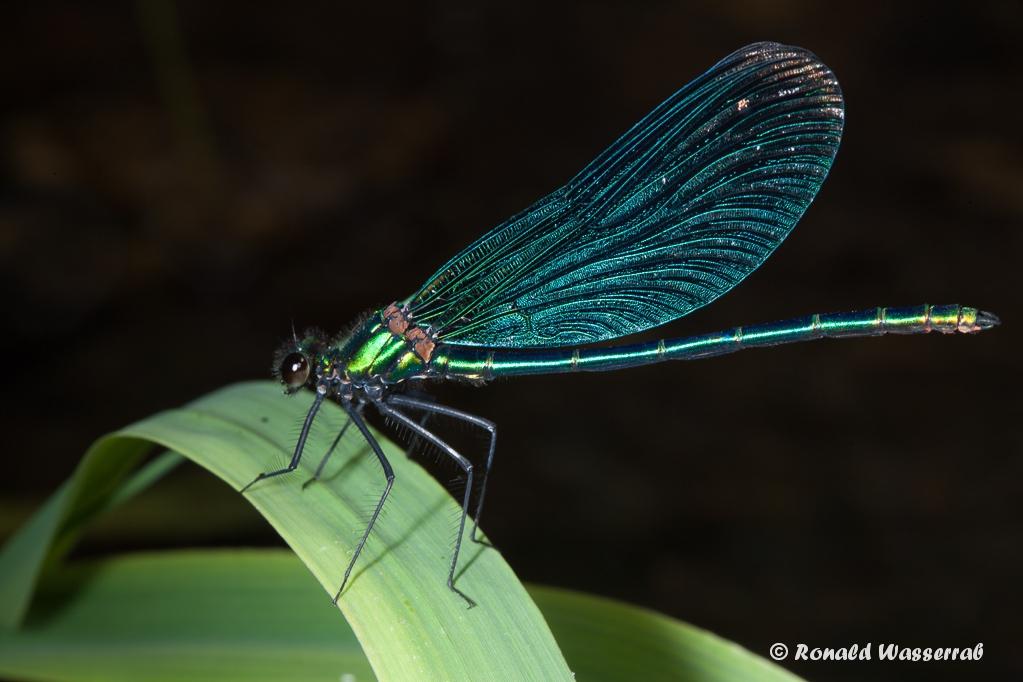 Blauflügel-Prachtlibelle (Calopteryx virgo) auf Blatt