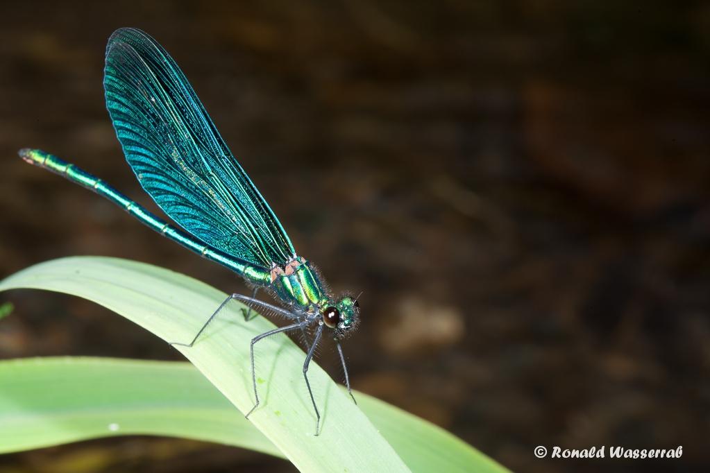 Blauflügel-Prachtlibellen-Männchen (Calopteryx virgo)