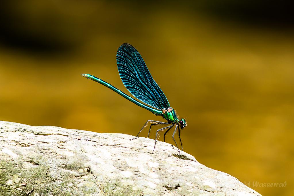Blauflügel-Prachtlibelle (Calopteryx virgo) auf Stein