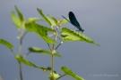 Männchen der Blauflügel-Prachtlibelle (Calopteryx virgo)