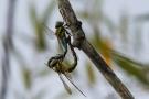 Libellen im Paarungsrad am Schleienloch