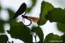 Paarung der Blauflügel-Prachtlibellen (Calopteryx virgo)