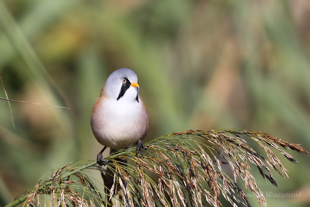 Bartmeisen-Männchen (Panurus biarmicus) am Federsee