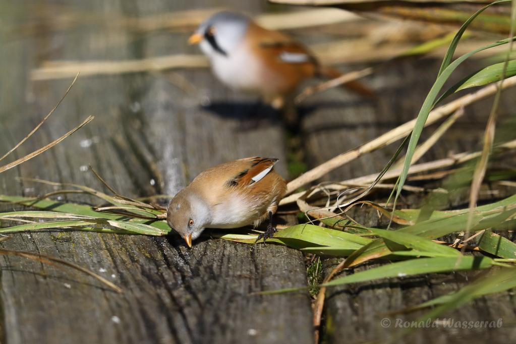 Bartmeisen-Männchen (Panurus biarmicus) auf Holzsteg