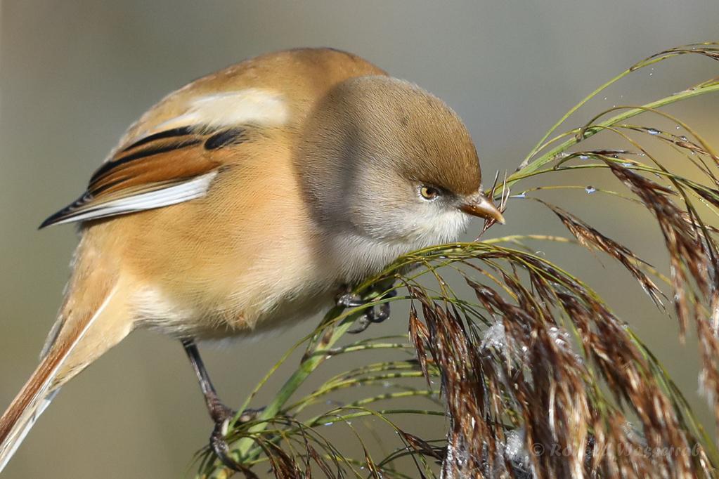 Bartmeisen-Weibchen (Panurus biarmicus) am Federsee