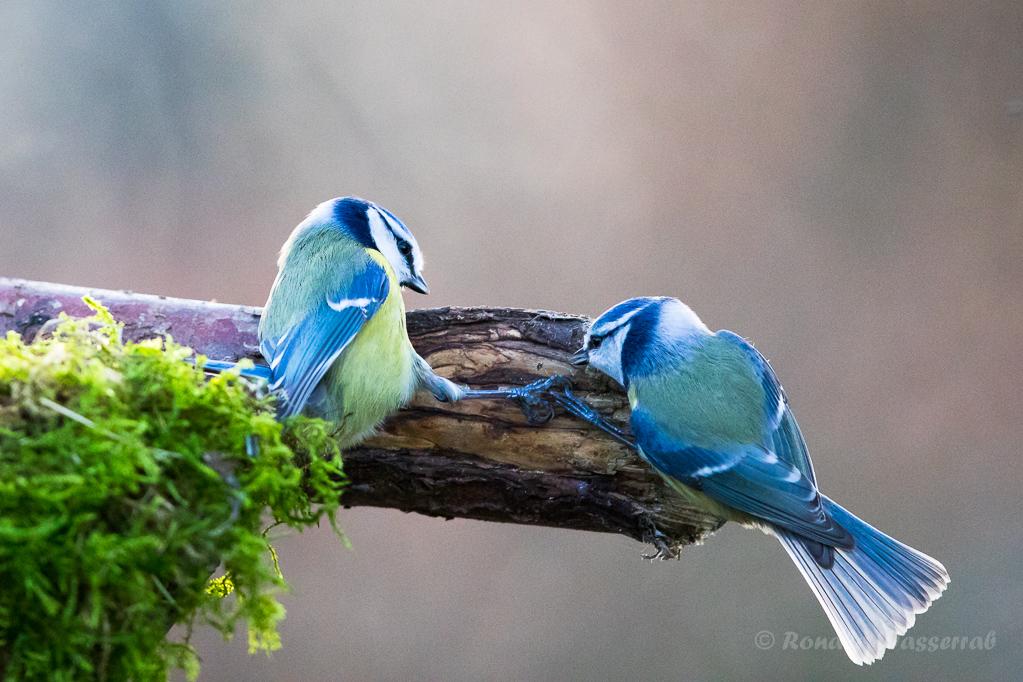 Blaumeisen (Cyanistes caeruleus, Syn.: Parus caeruleus)