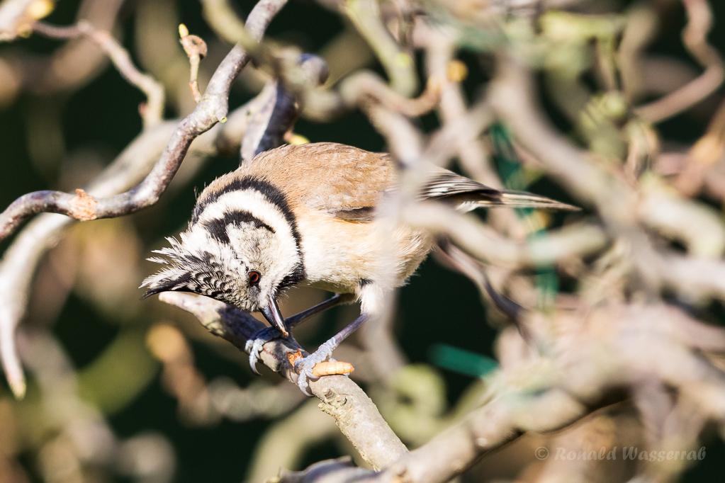 Haubenmeise (Lophophanes cristatus, Syn.: Parus cristatus)