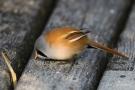Winzige Sandkörner helfen den Bartmeisen (Panurus biarmicus) bei der Verdauung