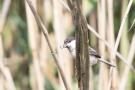 Weidenmeise (Poecile montanus) mit Futter