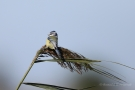 Blaumeise (Cyanistes caeruleus, Syn.: Parus caeruleus)