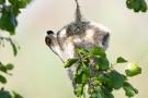 Beutelmeise (Remiz pendulinus)