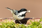 Tannenmeise (Periparus ater, Syn.: Parus ater)