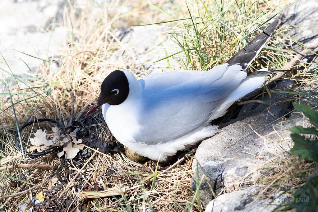 Lachmöwen-Nest (Chroicocephalus ridibundus, Syn.: Larus ridibundus)