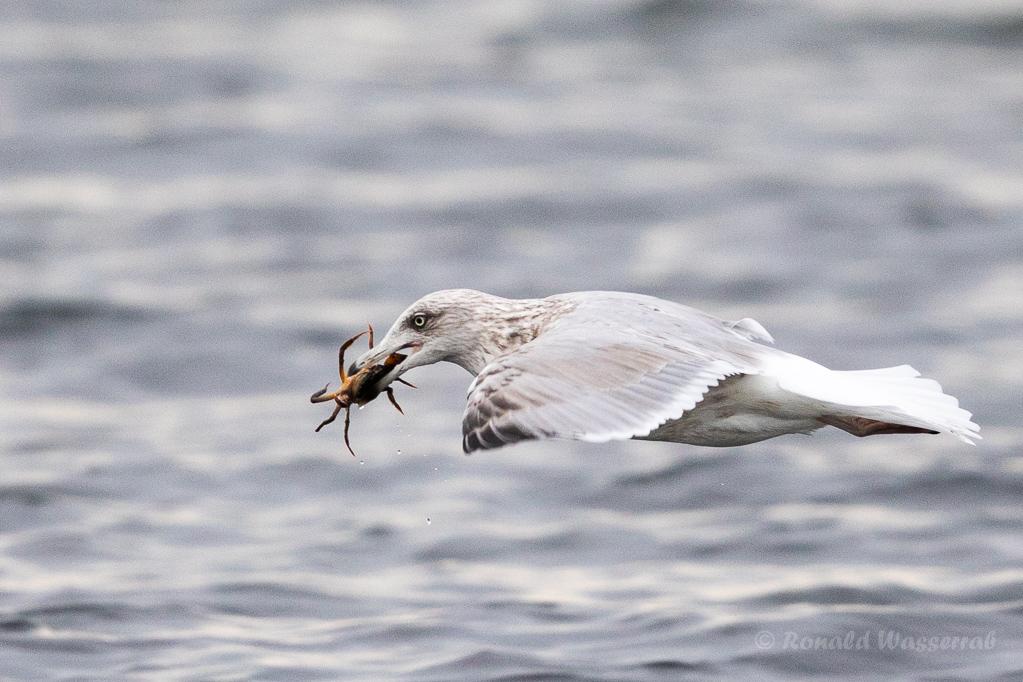 Silbermöwe (Larus argentatus) mit Strandkrabbe