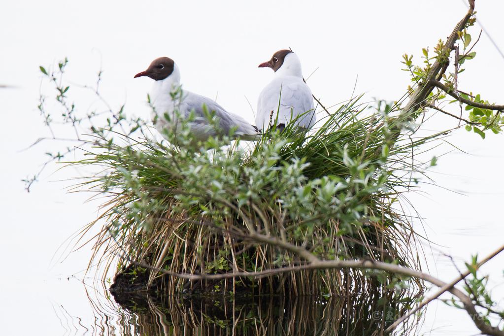 Lachmöwen (Chroicocephalus ridibundus) im Nest