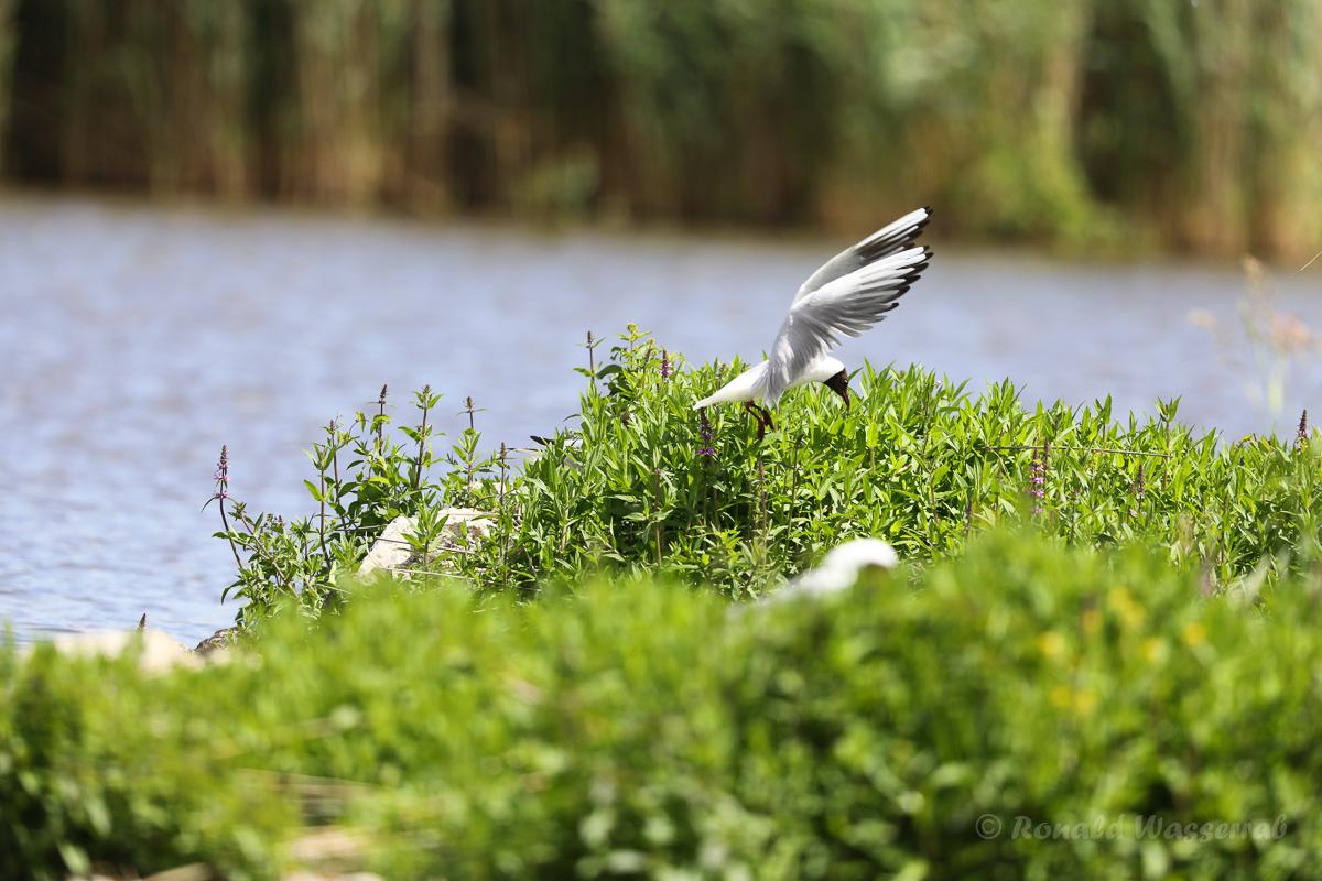 Lachmöwen (Chroicocephalus ridibundus)