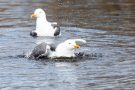 Heringsmöwen im Golfteich Helgoland