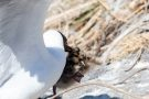 Angriff auf Lachmöwen-Küken (Chroicocephalus ridibundus, Syn.: Larus ridibundus)
