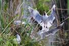 Streitende Lachmöwen (Chroicocephalus ridibundus)