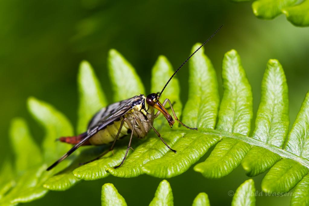 Gemeine Skorpionsfliege (Weibchen) (Panorpa communis)