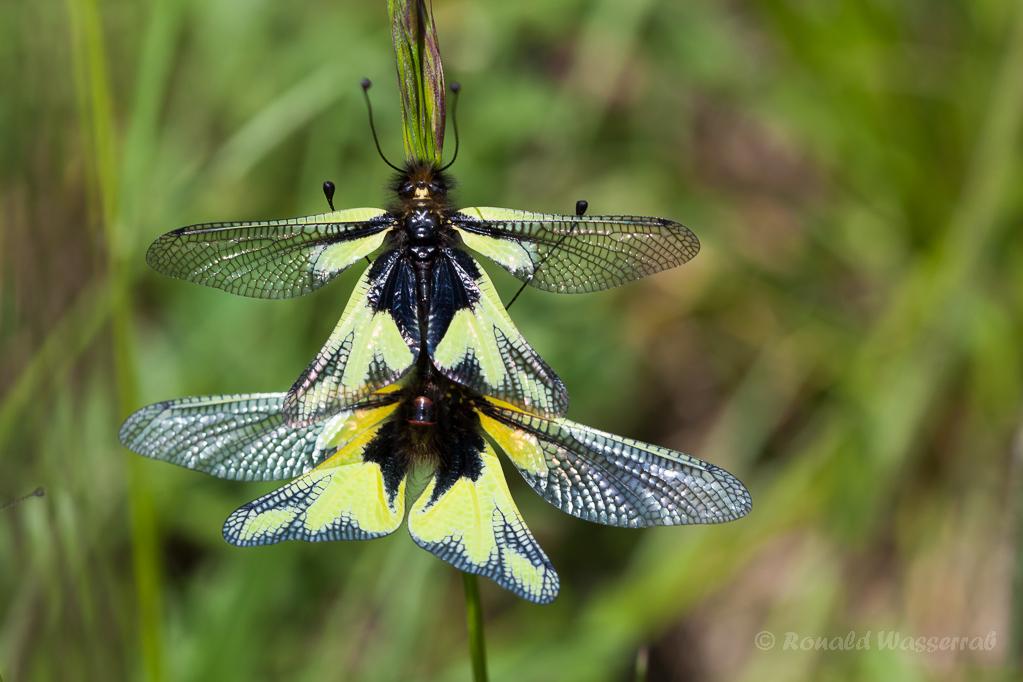 Paarung der LibellenSchmetterlingshaft (Libelloides coccajus)