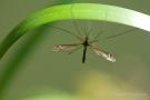Schnake (Tipula) in Moos